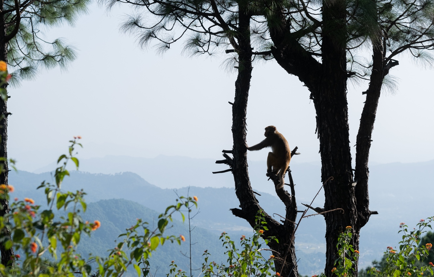 Monkey Perched on Tree in India Header